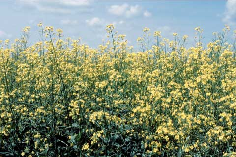 Field of flowering Canola