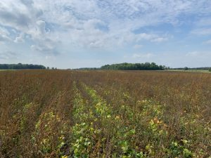 """An example of the """"zapped"""" weeds above the soybean canopy"""
